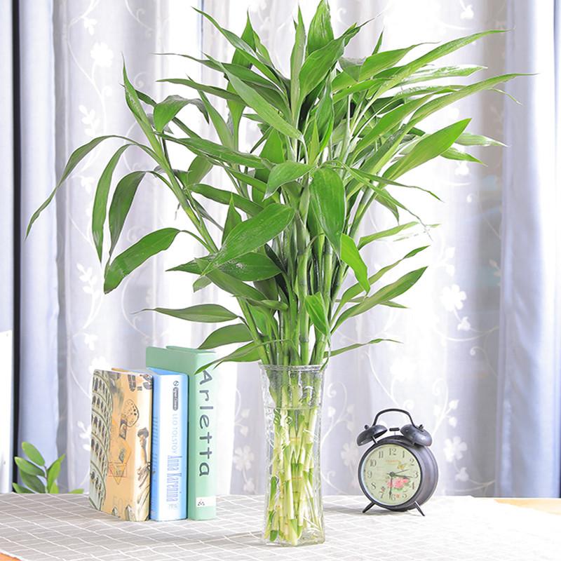富贵竹水培植物 室内客厅招财盆栽大叶转运